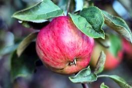 http://www.lafermedelasource.fr/268-thickbox_atch/pommes-jonagold-.jpg
